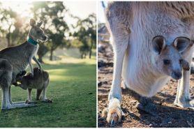 Video lucu anak kanguru masuk kantong induk, ditonton 52 juta kali