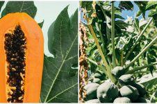 11 Manfaat daun pepaya untuk ibu menyusui, pemenuhan gizi bayi