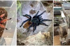 Usai ditinggal penyewanya, apartemen ini dipenuhi 19 tarantula & ular