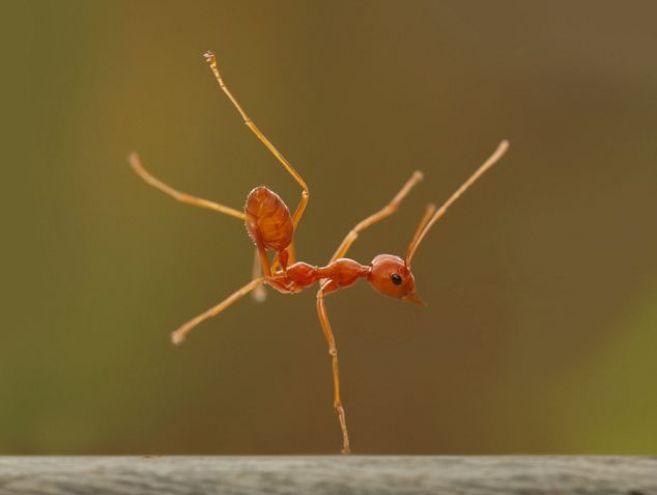 Jepretan keren Robertus Sudiatmoko yang abadikan semut menari
