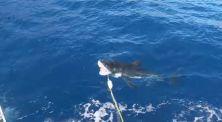 Penyelam Ini Lolos Dari Serangan Ikan Hiu Besar!