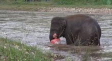 Seekor Gajah Menyelamatkan Orang Yang Tenggelam di Sungai