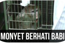 Monyet berhati Babi, kok bisa?