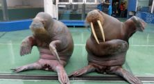 Sepasang Singa Laut ini Ikut Berdansa ala PPAP