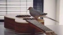 Burung Ajaib Ini Bisa Bermain Gitar