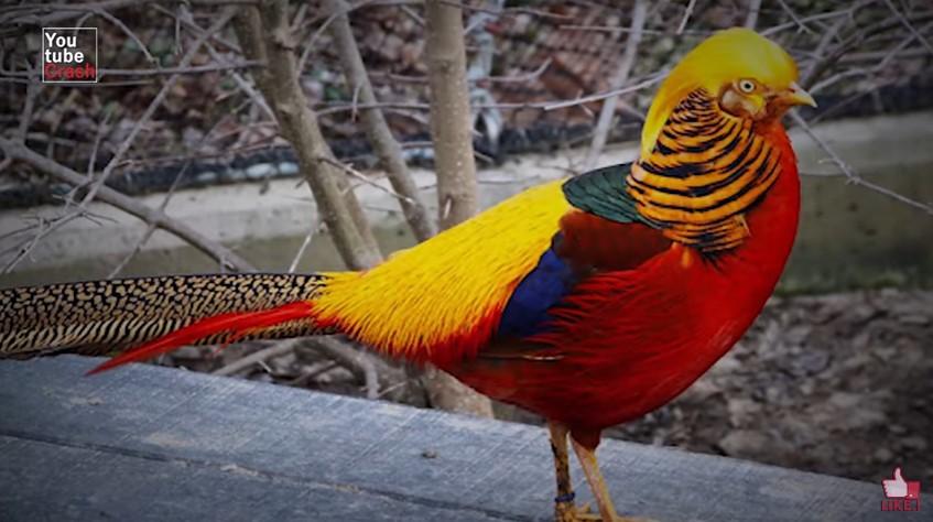 575345 golden pheasant - 10 Hewan Dengan Warna Paling Aneh dan Unik di Dunia