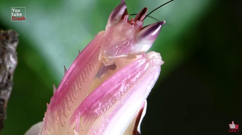 575348 orchid mantis - 10 Hewan Dengan Warna Paling Aneh dan Unik di Dunia