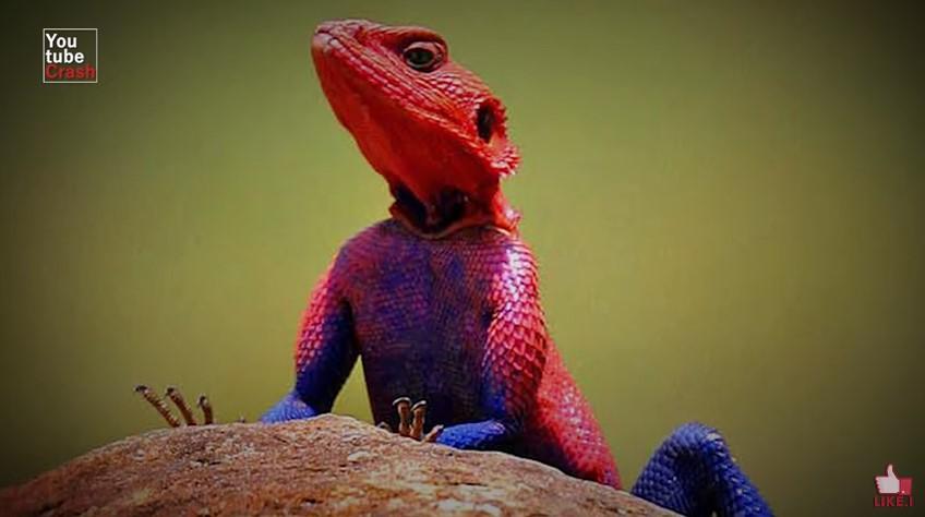 575355 kadal agama - 10 Hewan Dengan Warna Paling Aneh dan Unik di Dunia