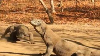 5 Fakta Unik Tentang Komodo yang Belum Kamu Ketahui!