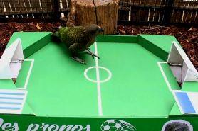 Burung beo ini ramal hasil Prancis vs Uruguay, siapa menang?
