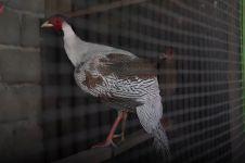 Ayam pheasant, ayam berbulu cantik yang capai omset hingga 120 juta