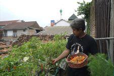 Petani cabai yang sukses bercocok tanam dari atap rumah